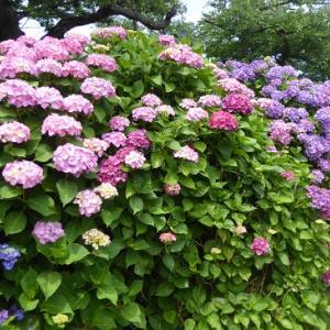 モコモコ紫陽花