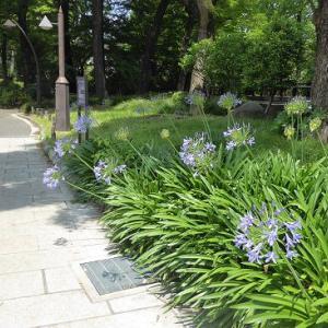 日比谷公園のアガパンサス紫と白