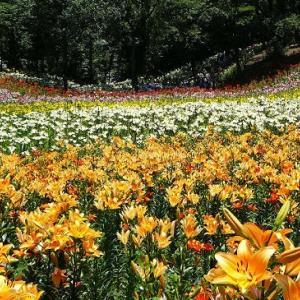 思い出のスカシユリ咲く風景
