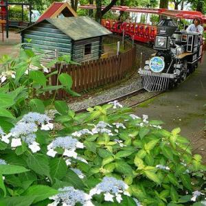 思い出の豊島園の紫陽花