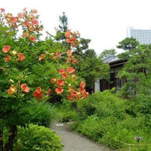 ノウゼンカズラの咲く風景