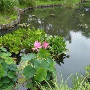 向島百花園の蓮の花