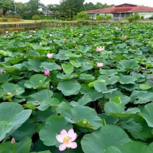 水元公園de蓮の花とトンボ