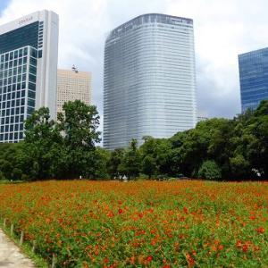浜離宮恩賜庭園deオレンジ色のキバナコスモス