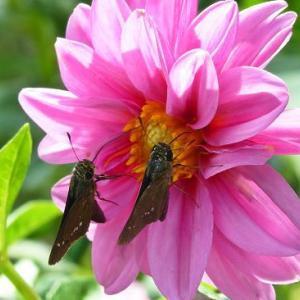 ある秋の花とセセリ蝶