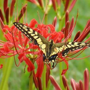 紅白の彼岸花とアゲハ蝶