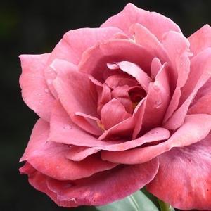 日比谷公園de咲き始めの秋薔薇