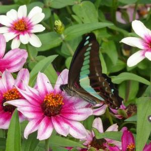 日比谷公園de蝶に大人気の花