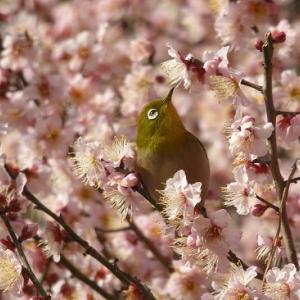 江戸城梅林坂の梅にメジロ