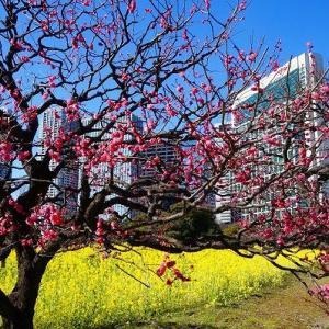 浜離宮恩賜庭園de紅梅と菜の花畑
