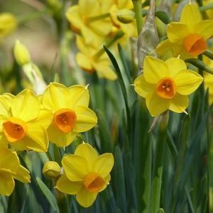 八重や黄色の水仙も