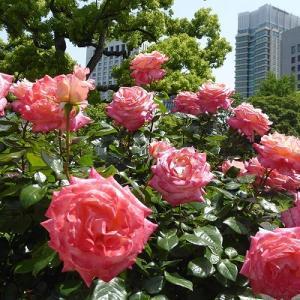 日比谷公園で満開のバラ【第一花壇入口】