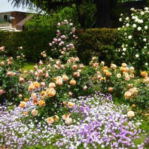 日比谷公園de満開のバラを【第一花壇】