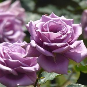 日比谷公園で紫の薔薇を