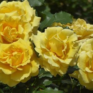 日比谷公園でビタミンカラーの薔薇を