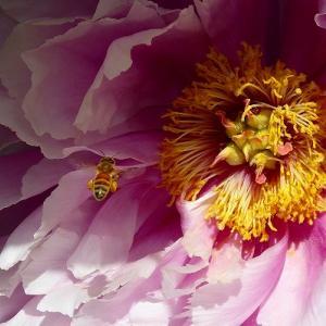 上野東照宮ぼたん苑のぼたんとミツバチ