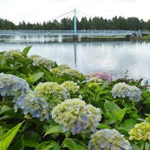 水元公園の大橋と紫陽花と