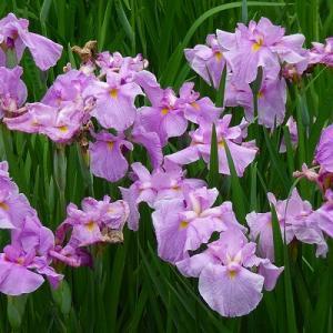 水元公園で咲き始めた花菖蒲