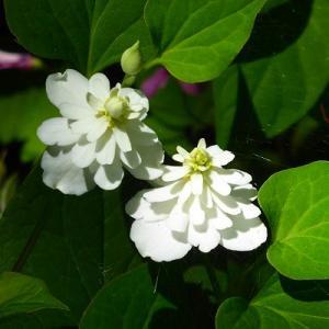 水元公園に咲く八重のドクダミ