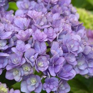 日常の風景に八重の紫陽花