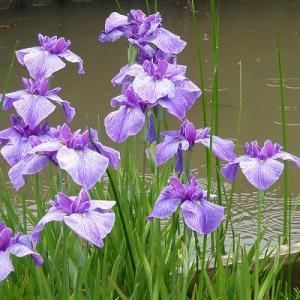 水元公園の雨に濡れる花菖蒲