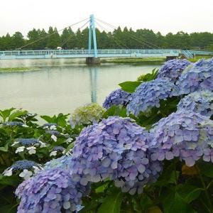水元大橋と紫陽花と睡蓮池と