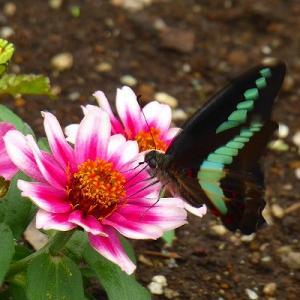 日比谷公園de百日草とチョウチョ