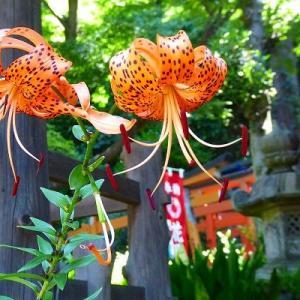 上野公園de五條天神社のオニユリ