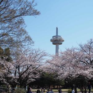 所沢航空記念公園の桜の開花状況!お花見の場所や駐車場の混雑は?
