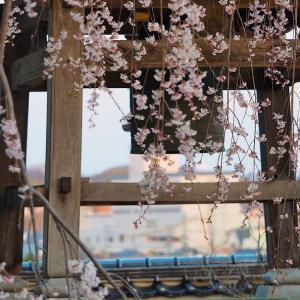 枝垂桜・・・。