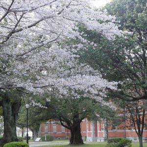地震前の桜に