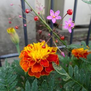 爆ぜる、蘭のように可愛い、乙女チックな花 〜ハゼラン〜