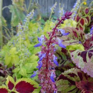 葉はもちろん、花も楽しめるんですよ 〜コリウス〜