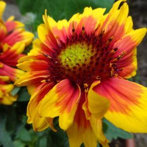 元気をもらえる鮮やかな花 〜ガイラルディア〜