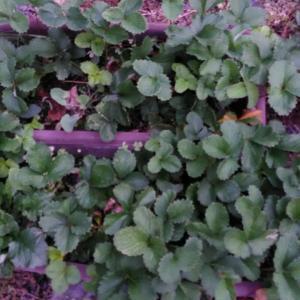「 種子からのイチゴ栽培 」 植え付け準備