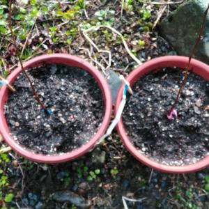 森のカスタード 「 ポポー 」 の栽培