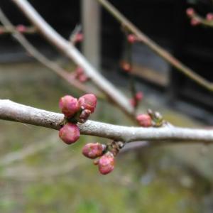 梅のつぼみ ... 春遠からじ