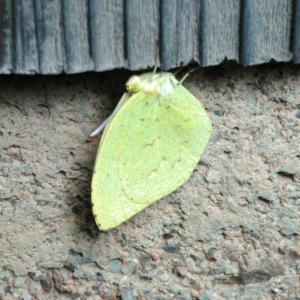 真冬に、黄蝶(キチョウ) は幸運を運んでくる !