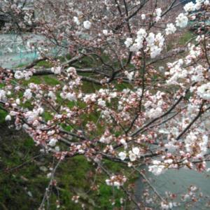 『変半身(かわりみ)』・桜だより