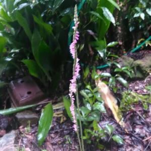 ネジバナの開花とアボカドの発芽
