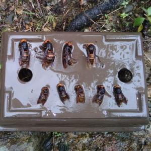 今年は不猟でした...スズメバチ