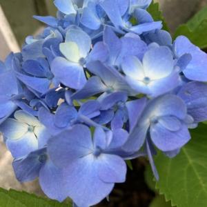 鉢ごと埋めて枯れてしまった紫陽花が復活!リビングから紫陽花を眺める夢が叶った♪
