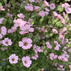 ピンクのカスミソウ。種まきから種を取るまで初めて育てました。