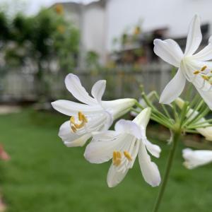 梅雨時期も元気に咲くアガパンサス。小さな庭なら鉢植えがおすすめ。