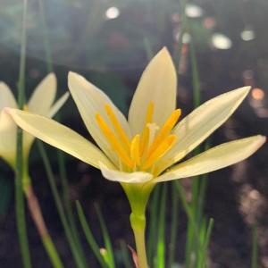 誕生花は「ゼフィランサス」。誕生日に想うこと。