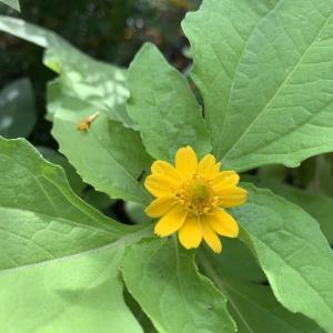 こぼれ種から咲いたメランポジウム。サプライズな開花に元気をもらった。