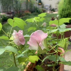 コットン(綿)の花が咲いて実がなりました。綿ができるのが楽しみ!
