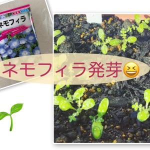 ネモフィラが発芽しました♪来春、お家の庭を花畑に…。