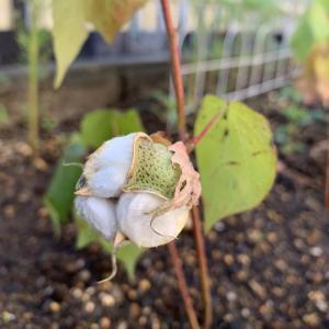 庭のコットンの実が弾けて綿ができました!感激!