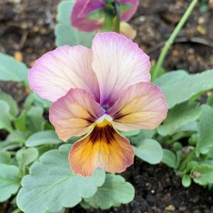 ニュアンスカラーの花が心を癒やす。今年は庭に優しい色を…